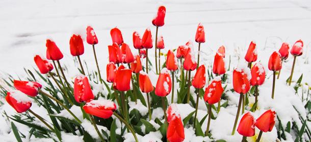 tulipsSnow